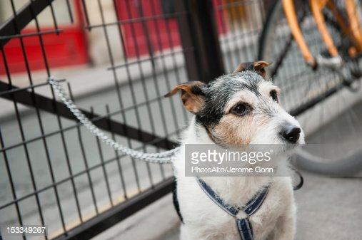 Dog chained to fence : Stock Photo