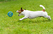 Jack Russell Terrier playing with blue ball