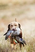 A Chesapeake Bay Retriever bringing back a downed mallard.