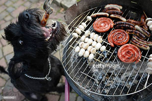 Dog 'Chili' gets a grilled sausage during the first barbecue of this spring in Busbach southern Germany on April 14 2013 Temperatures in parts of the...