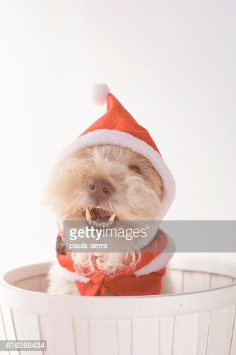 Dog Christmas : Stock Photo