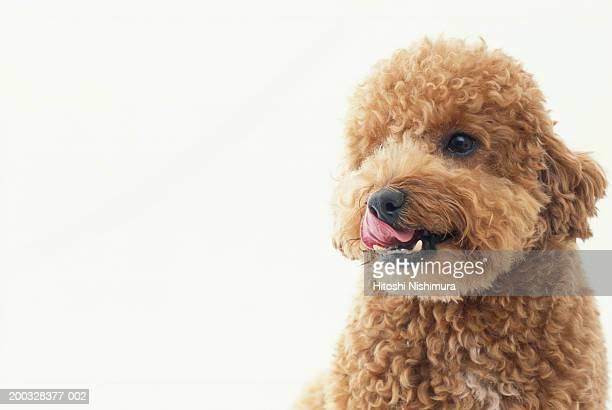 Dog, close-up, looking away