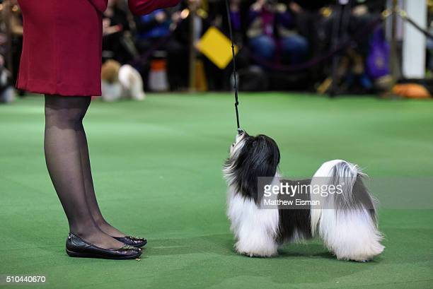 A dog competes during the first day of competition at the Westminster Kennel Club 140 Annual Dog Show on February 16 2016 in New York City