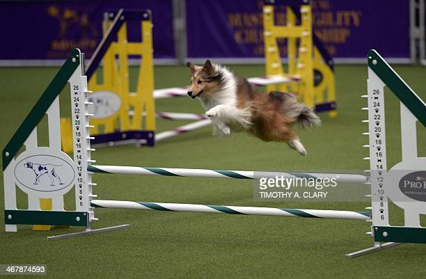 A dog competes in the Agility Ring during the Firstever Masters Agility Championship on February 8 2014 in New York at the 138th Annual Westminster...