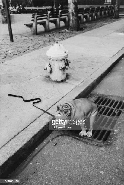 A dog crouches down to defecate into a drain Greenwich Village New York 1986