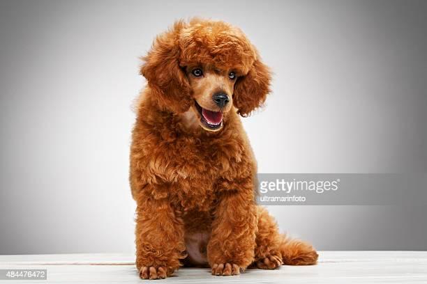 ミニアチュアプードルの子犬犬かわいい