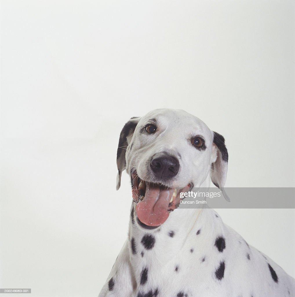 Dog, Dalmatian, (Portrait) : Stock Photo