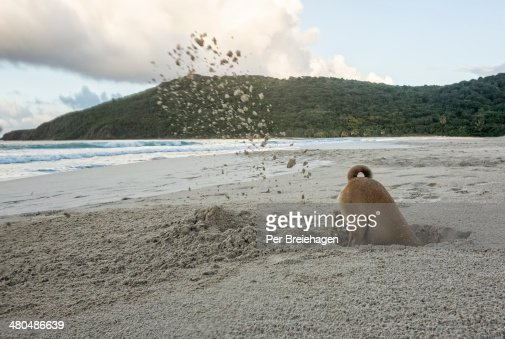 A dog digging a deep hole on a beach