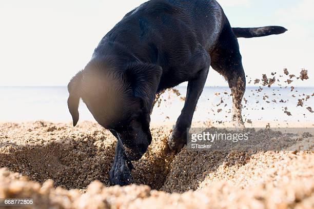 Dog digging on beach