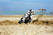 Beautiful dalmatian digging a hole in the sand, in a sunny day.