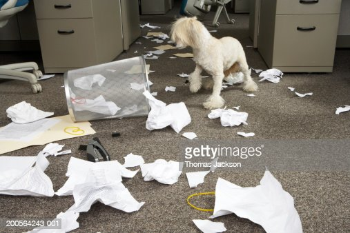 Dog (Chinese Crested Powder Puff) digging through wastebin in office : Stock Photo
