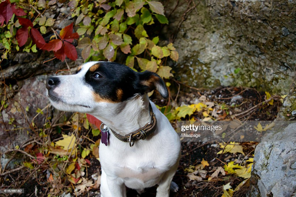 Dog dreaming with ears back snifing wind autumn colors background : Stock Photo