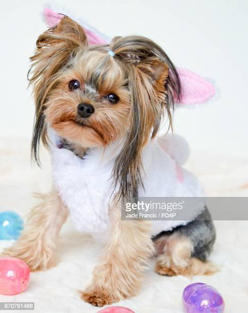 Dog dressed as a bunny