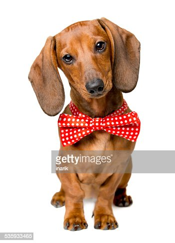 Dog Dressed Bow Tie, Dackel with Bow-Tie, Animal Clothes Wearing : Stock Photo