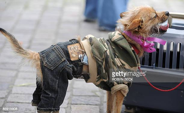 A dog dressed in blue jeans and a camouflage shirt attends the annual Blessing of the Animals in Los Angeles California on April 11 2009 The ceremony...