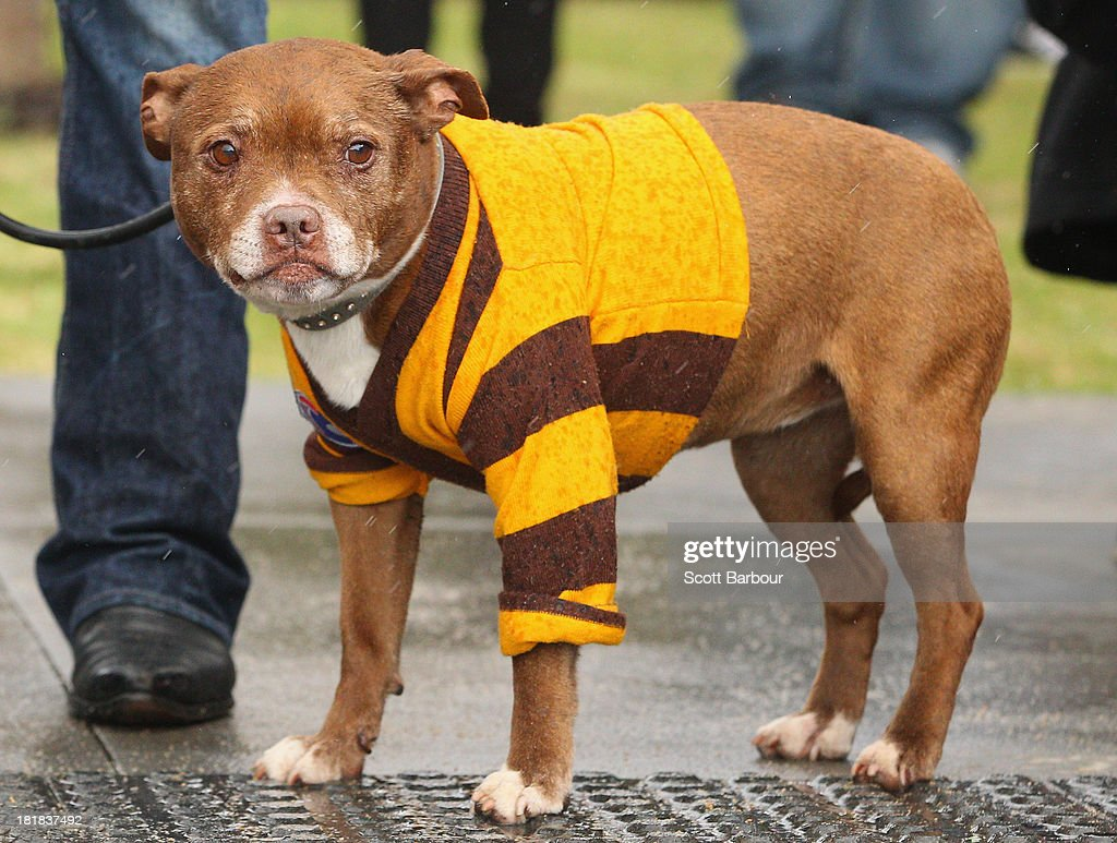 A dog dressed in Hawks clothing watches as the Hawks train during a Hawthorn Hawks AFL training session at Waverley Park on September 26, 2013 in Melbourne, Australia. The Hawthorn Hawks play the Fremantle Dockers this Saturday in this year's 2013 AFL Grand Final.