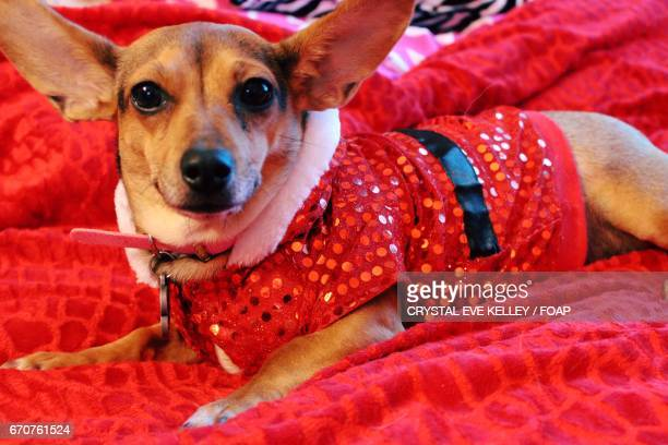 Dog dressed in red costume