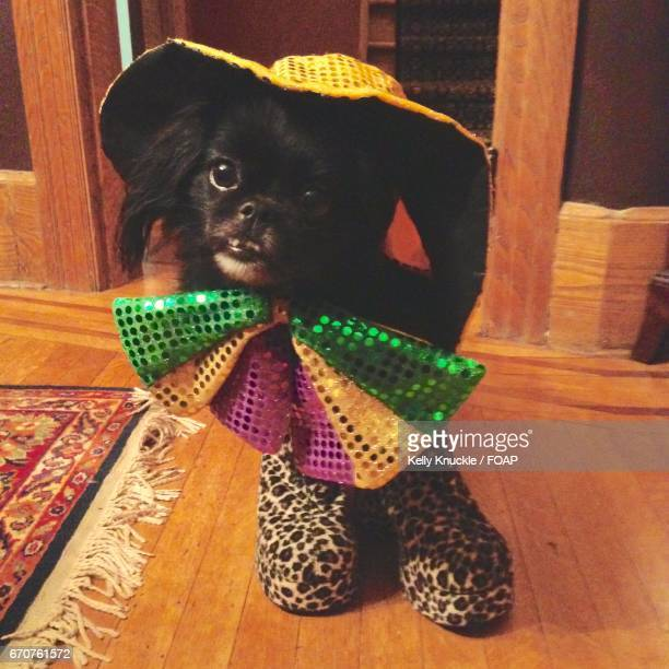 Dog dressed up at home