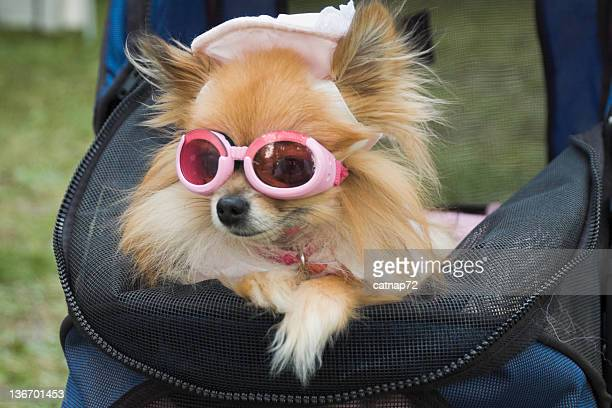 Dog Dressed Up In Hat and Sunglasses, Canine Glamour