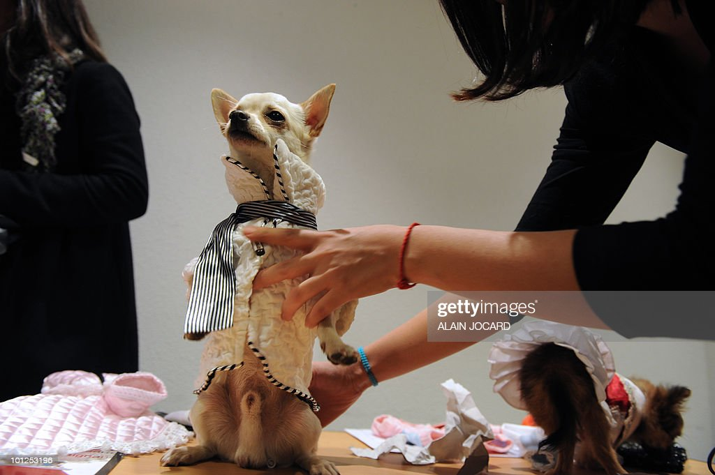 A dog dressed with 'ready-to-wear' clothes is paraded in front of a jury on May 5, 2010 in Rennes, during the first canine ready-to-wear competition, organized by French international fashion university group Esmod and 'La Pet avenue' company specialized in sale of canine clothes.