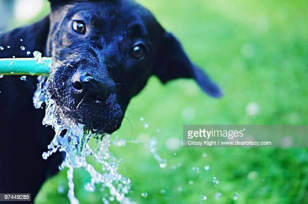 Dog drinking from a water hose
