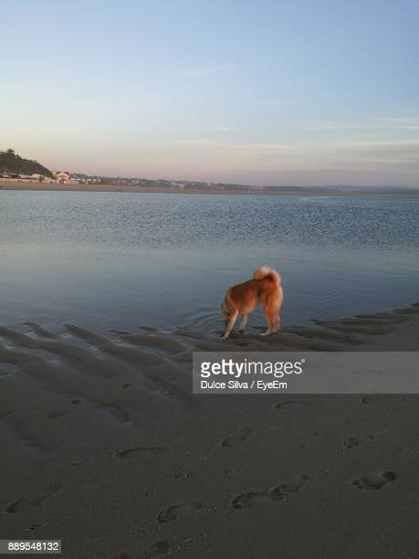 Dog Drinking Water From Lake Against Sky During Sunset