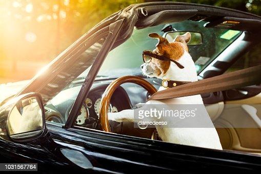 dog drivers license  driving a car : Foto de stock