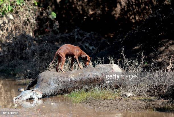 A dog eats a dead horse at Alborada neiborhood in Acapulco Guerrero state Mexico on September 21 2013 Mexico looked Saturday to the Herculean task of...
