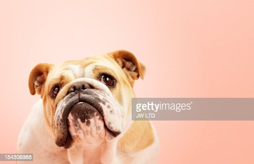 Dog English Bull Dogs Portrait : Stock Photo