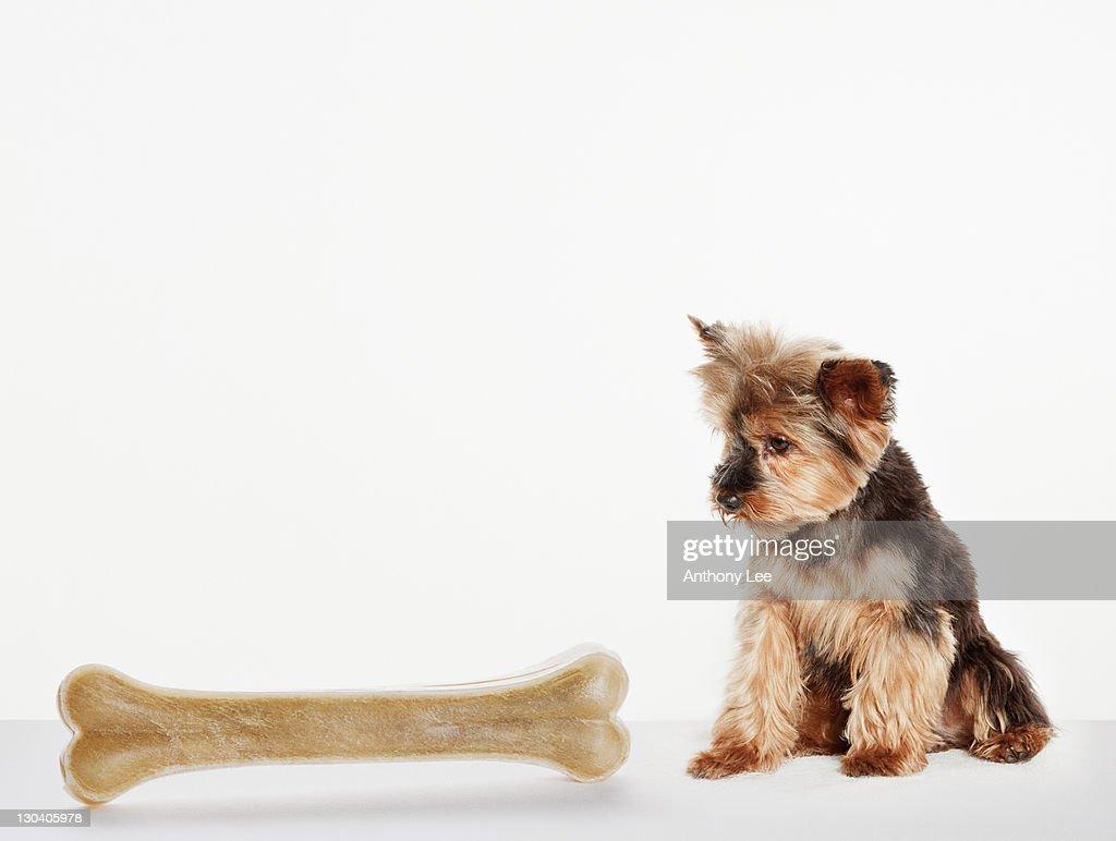 Dog examining oversized bone : Stock Photo