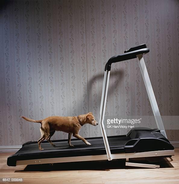 Dog Exercising on Treadmill