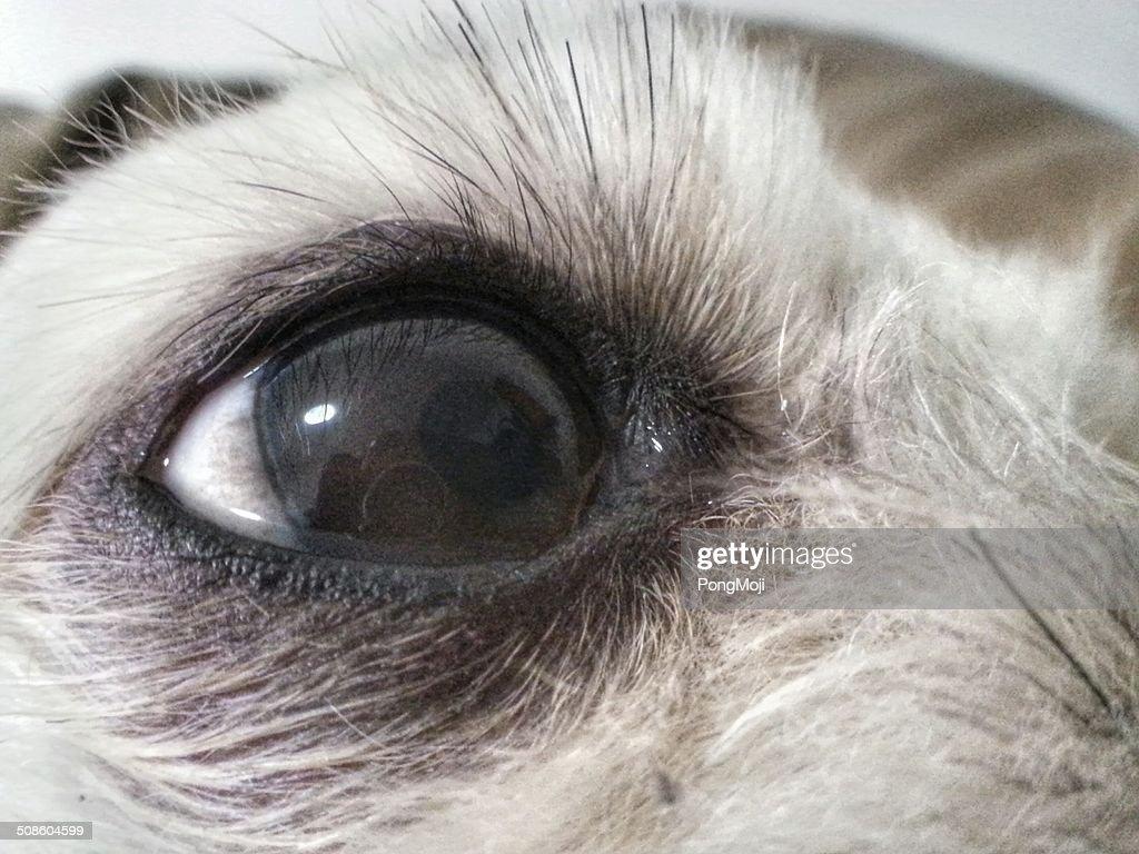 Perro Eye reflejos : Foto de stock