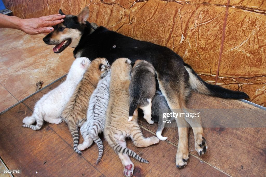 A dog feeds four tiger cubs born by a 5-year-old Bengal tiger at Rongcheng County on June 14, 2017 in Weihai, Shandong Province of China. Four tiger cubs, two golden tigers, a snow tiger, a white tiger, were born at the Xixiakou Wildlife Zoo. Working Staff of the Xixiakou Wildlife Zoo found a dog to feed the four baby tigers.
