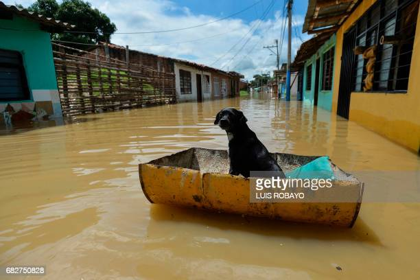 A dog floats on a piece of tank in a flooded area of Cali Colombia on May 13 2017 after heavy rains caused the overflowing of the Cauca river...