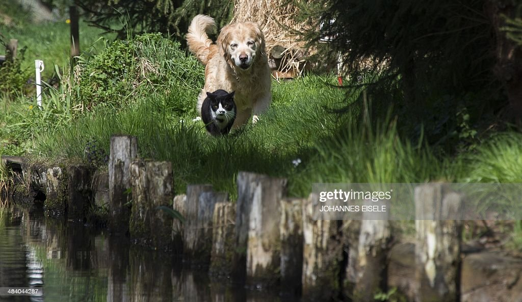 A dog follows a cat at a canal in luebbenau village in Spreewald south of the German capital Berlin on April 11 2014 The area is irrigated with more...