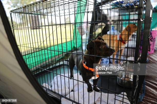A dog found abandoned in a flooded home sits in a cage where animal rescue organizations have set up a shelter on September 6 2017 in Orange Texas If...