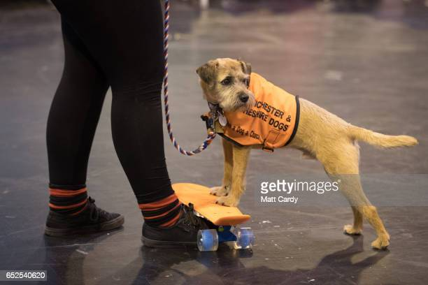 A dog from the Manchester and Cheshire Dogs Home stands on a skateboard on the final day of the Crufts Dog Show at the NEC Arena on March 12 2017 in...