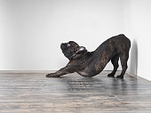 Dog funny stretches. Funny pose. French bulldog breed