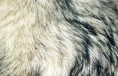 Dog fur. Fur of Alaskan Malamute close up texture