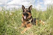 Dog german shepherd in a summer day and grass around