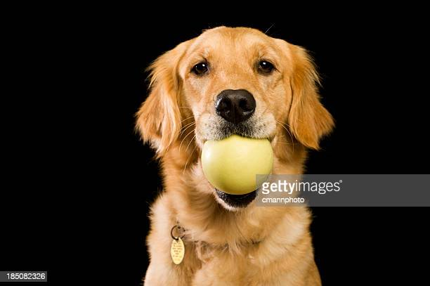 Dog - Golden Retriever with ball