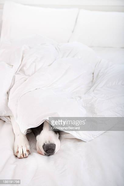 Dog Great Dane sleeping in bed