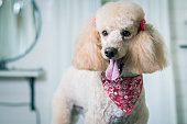 Dog grooming a poodle