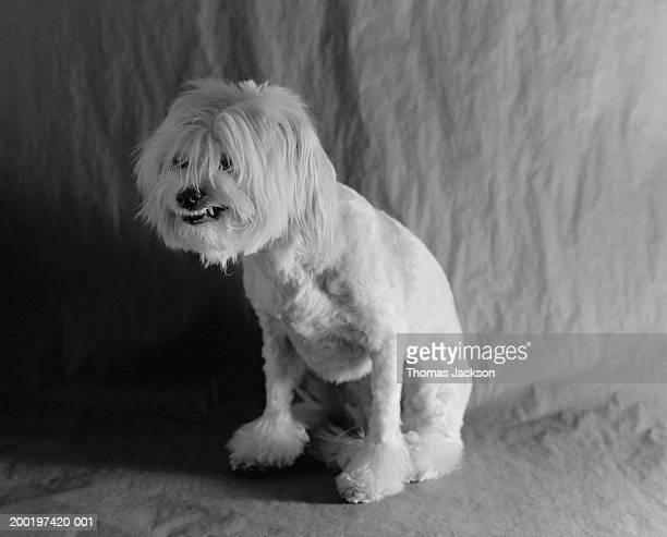 Dog growling (B&W)