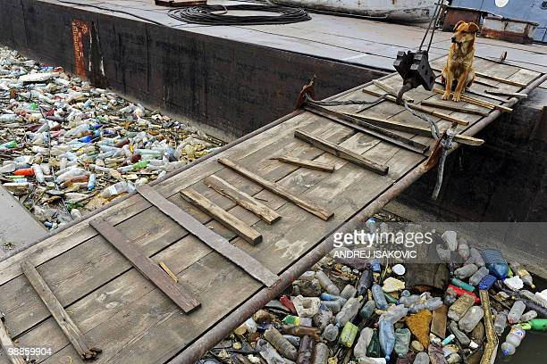 A dog 'guards' the entrance of a stranded ship on the banks of the Sava river which is covered in discarded plastic bottles and other garbage in...