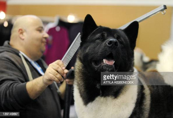 A dog hair specialist prepares an American Akita breed dog's hair at the Budapest Fair Center on February 17 2012 during the first international dog...
