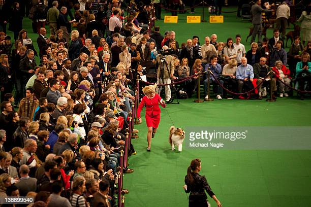 Dog handlers compete with their Shetland Sheepdogs in Ring 5 at the Westminster Kennel Club Dog Show on February 13 2012 in New York City The...
