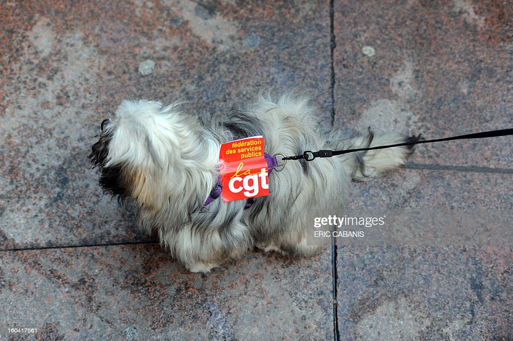 A dog has a CGT union sticker on its leash as members of the public sector (education, health and finance) take part on January 31, 2013 in a national day of protest in Toulouse, southern France, against the French government's social policy. For the first time since French President Francois Hollande's election, three labour unions (CGT, FSU, Solidaires) called on 5.2 million civil servants to stop working to show to the government their unhappiness, particularly in terms of purchasing power. AFP PHOTO / ERIC CABANIS