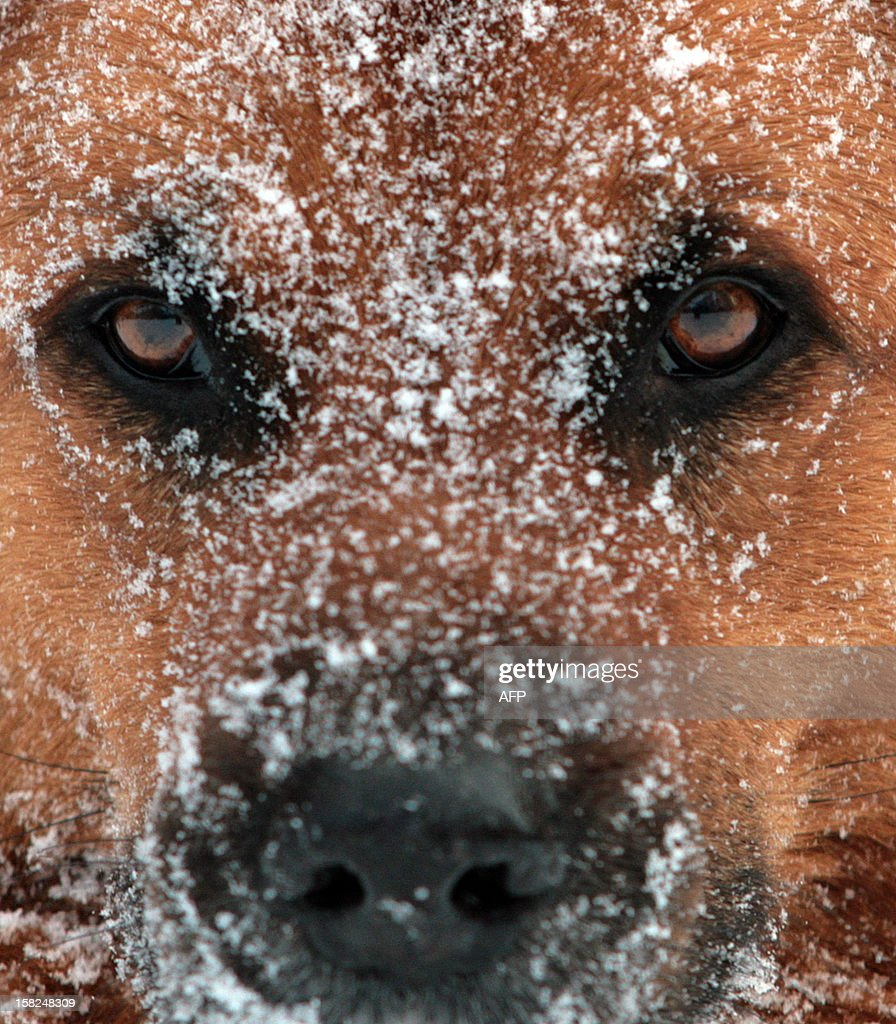 A dog has his face covered in snowflakes on December 11, 2012 in Auetal, western Germany. Meteorologists forecast ongoing winter weather for the following days in the region. AFP PHOTO / OLE SPATA GERMANY OUT
