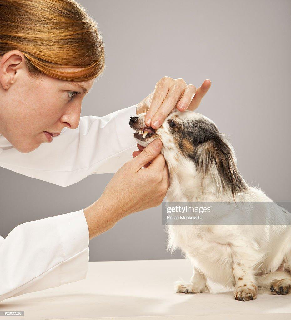 Dog having teeth examined : Stock Photo